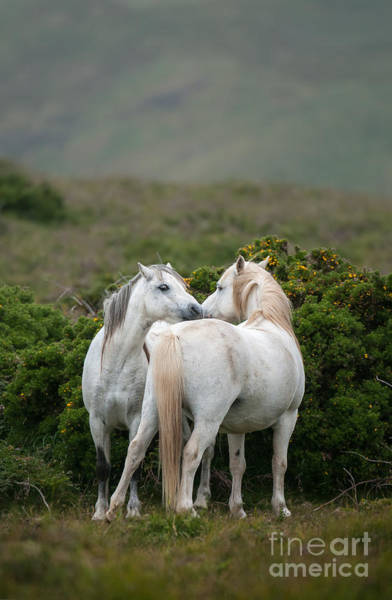 Wall Art - Photograph - A Pair Of Welsh Mountain Ponies Greet by Philip Ellard