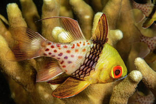 Wall Art - Photograph - A Pajama Cardinalfish  Sphaeramia by Dave Fleetham