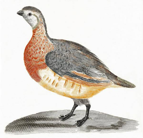 Wall Art - Painting - A Partridge By Johan Teyler  1648-1709  by Celestial Images