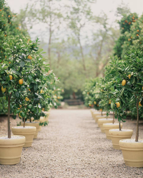 Lemon Photograph - A Path Of Potted Lemon Trees by Victoria Pearson