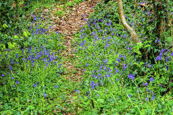 Photograph - A Path Through The Bluebells by Steve Purnell