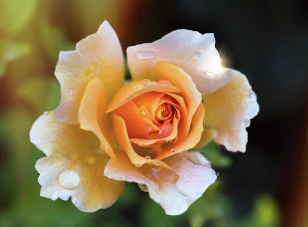 Photograph - A Peachy Rose  by Saija Lehtonen
