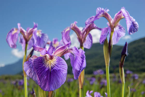 South Central Alaska Photograph - A Perennial Iris And It S Deep Purple by Kevin G. Smith