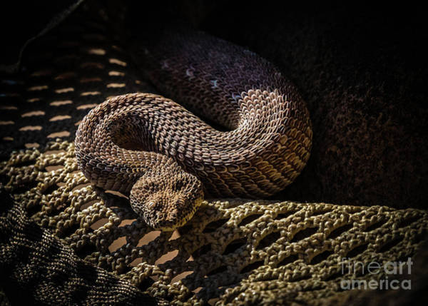 Photograph - A Peringuey's Adder In A Hat, Namibia by Lyl Dil Creations