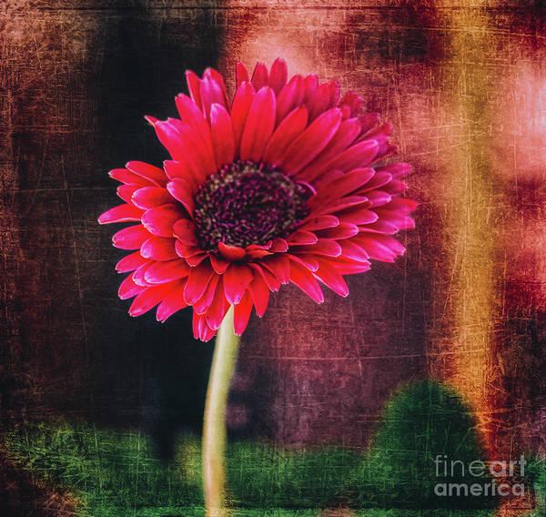 Photograph - A Pink Gerbera Daisy by Janice Pariza