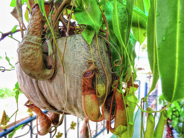Photograph - A Pitcher Plant On Our Terrace In Thailand by Jeremy Holton