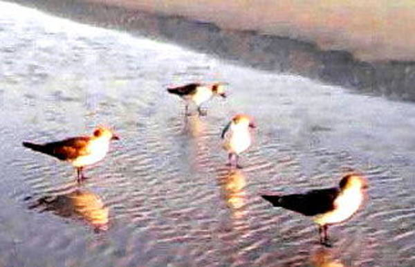 Wall Art - Photograph - A Placid Day Among Laughing Gulls Amidst A Sudden River by Anaya Min