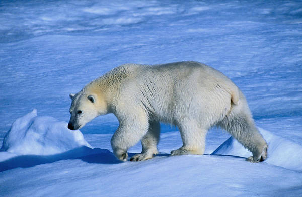 Wall Art - Photograph - A Polar Bear Thalarctos Maritimus by Nicholas Reuss