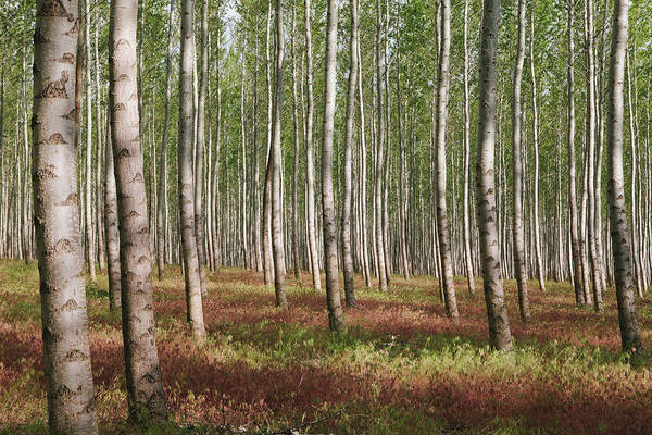 Side-by-side Photograph - A Poplar Tree Plantation Or Forest In by Mint Images/  Paul Edmondson