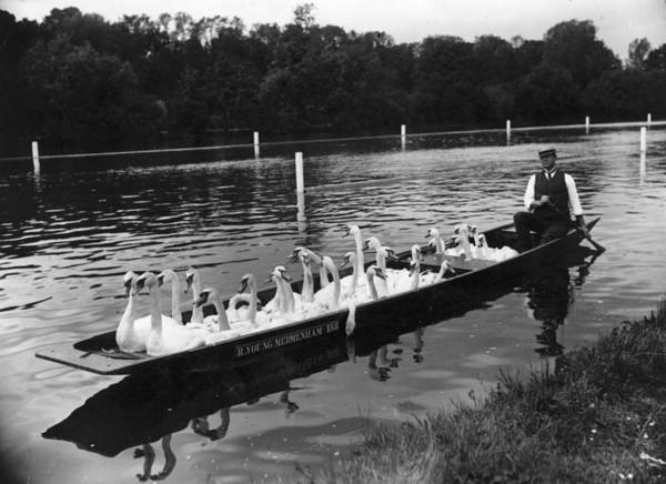 Swan Boats Photograph - A Punt Full Of Swans by Hulton Archive
