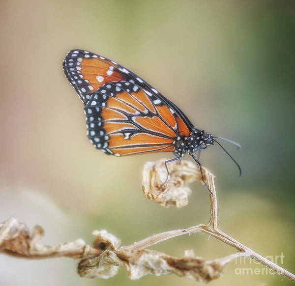 Photograph - A Queen by Natural Abstract Photography