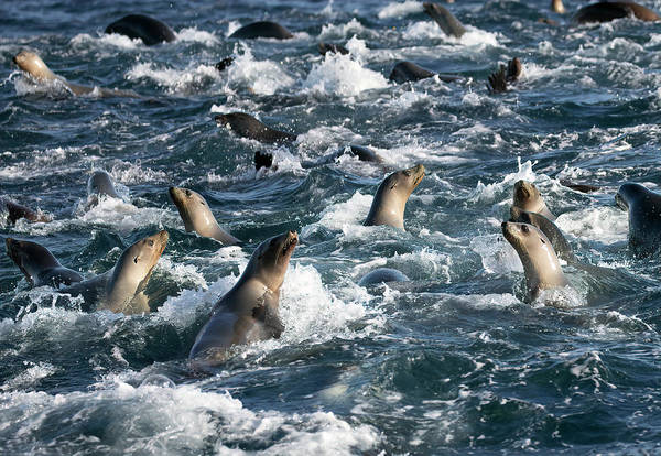 Photograph - A Raft Of Sea Lions by Cheryl Strahl