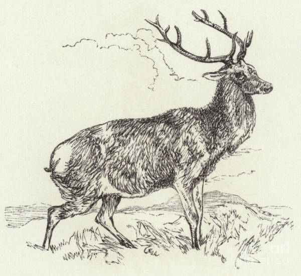 Antlers Drawing - A Red Deer  Engraved by English School