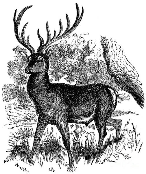 Antlers Drawing - a Red Deer in a Landscape by American School