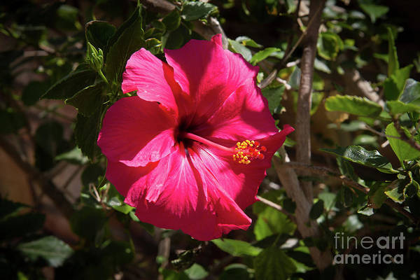 Wall Art - Photograph - A Red Hibiscus by Robert Bales
