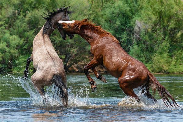 Heber Springs Photograph - A Sorrel's Counter-attack. by Paul Martin