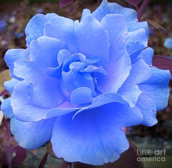 Wall Art - Photograph - A Romantic Blue Rose by Chad and Stacey Hall
