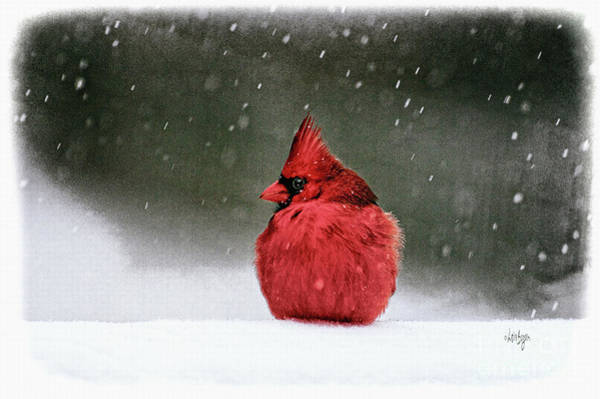 Photograph - A Ruby In The Snow by Lois Bryan