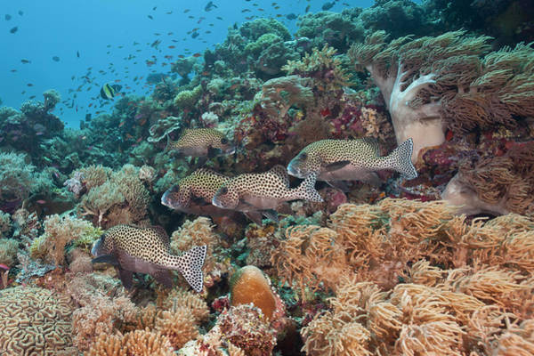 The Philippines Wall Art - Photograph - A School Of Sweetlips Fish On A Coral by Jeff Hunter