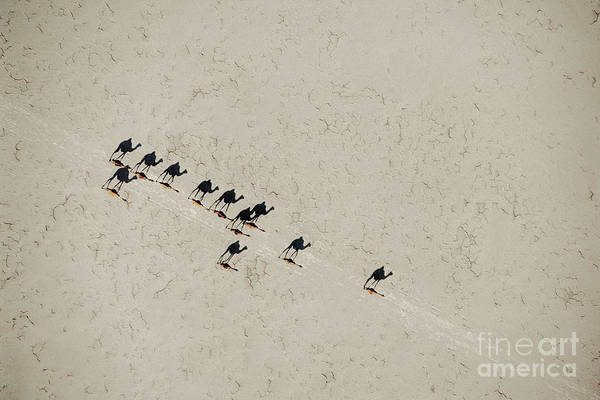 Photograph - A Scorching Sun Casts Long Shadows As Camels Cross Salt Flats. by Chris Johns