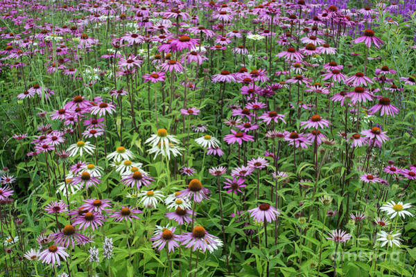Photograph - A Sea Of Echinacea Coneflowers by Tim Gainey