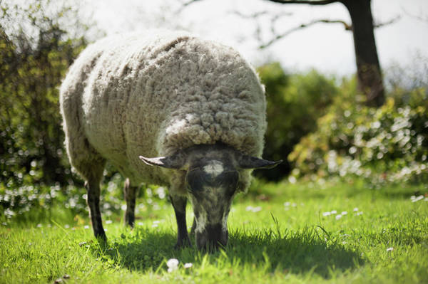 Vancouver Island Photograph - A Sheep Grazes On The Grass by Helene Cyr / Design Pics