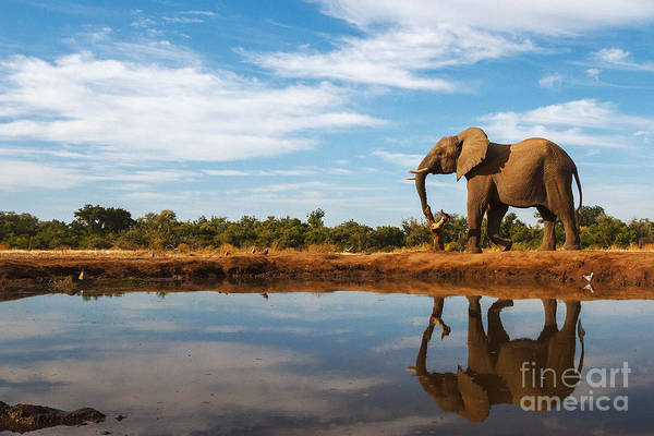Reserve Wall Art - Photograph - A Single Elephant Is Reflected On The by Mike Dexter