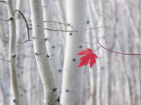 Season Photograph - A Single Red Maple Leaf In Autumn by Mint Images - David Schultz