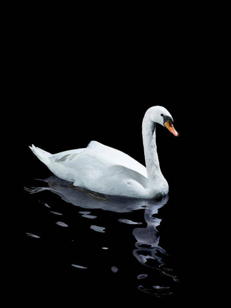 Mute Swan Photograph - A Single White Swan by Walker And Walker