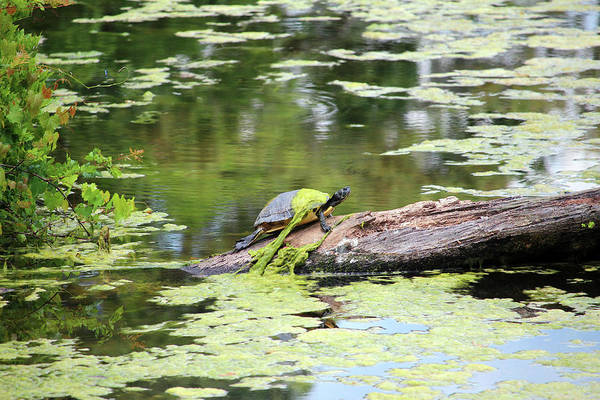 Photograph - A Slimy Turtle by Cynthia Guinn