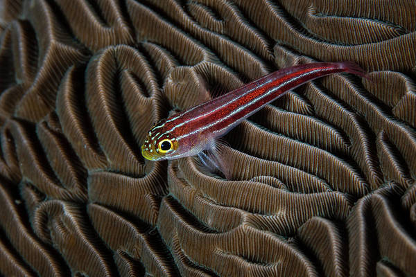 Photograph - A Small, Colorful Goby Sits On A Coral by Ethan Daniels