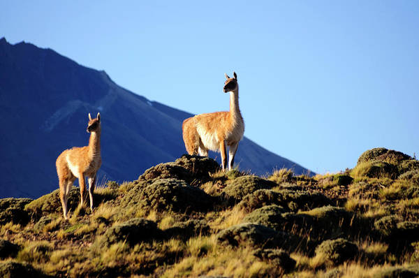 Antartica Wall Art - Photograph - A Small Herd Of Guanacos by Hans Neleman