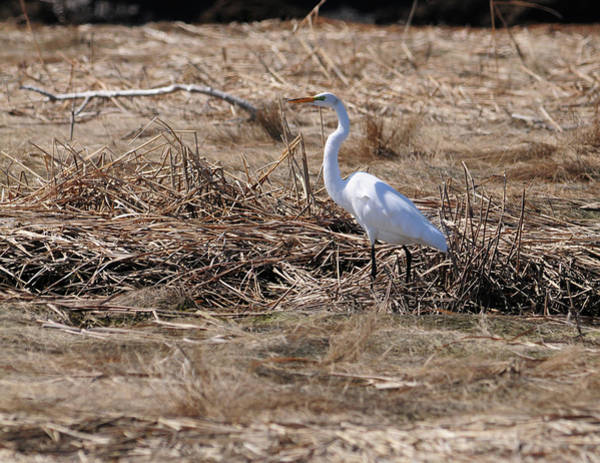 Wall Art - Photograph - A Snowy Egret by Mike Martin