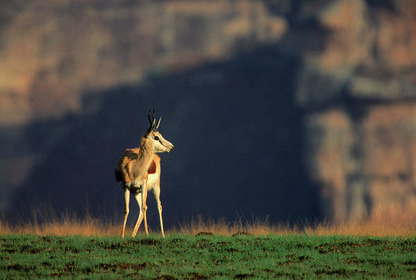 Wall Art - Photograph - A Springbok Ram Standing On An Open by Hphimagelibrary