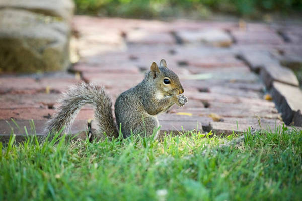 Wall Art - Photograph - A Squirrel With An Evening Snack by Rachel Morrison