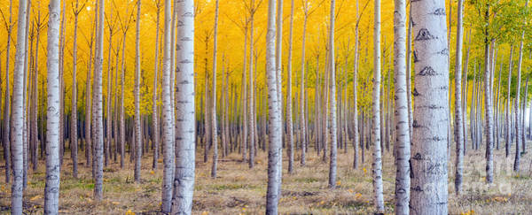 Wall Art - Photograph - A Stand Of Trees Begins To Weather Fall by Christopher Boswell