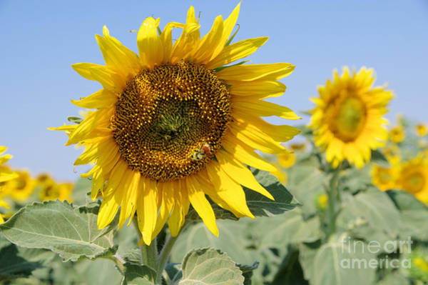 Wall Art - Photograph - A Sunflower Smile by Jeff Swan