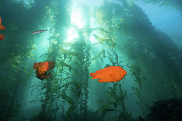 Kelp Photograph - A Sunny Day In The Forest by Steven Trainoff Ph.d.
