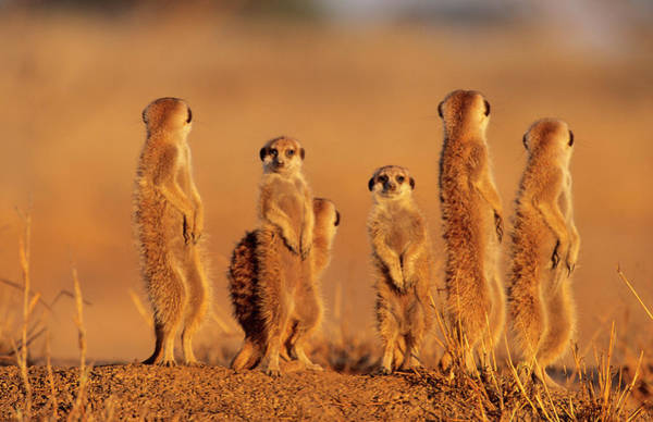 Wall Art - Photograph - A Suricate Family Sunning Themselves At by Nigel Dennis