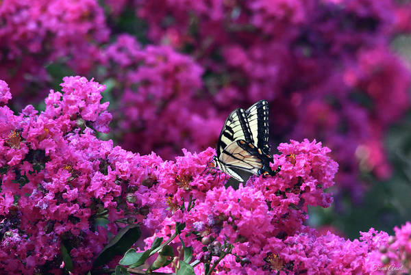 Wall Art - Photograph - A Swallowtail Butterfly On The Crape Myrtle by Trina Ansel