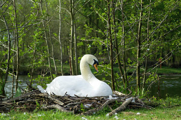 Mute Swan Photograph - A Swan On Its Nest by Stephen D Harper