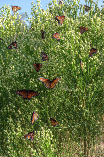 Photograph - A Swarm Of Queens by Gaelyn Olmsted