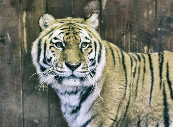 A Tigers Look Art Print