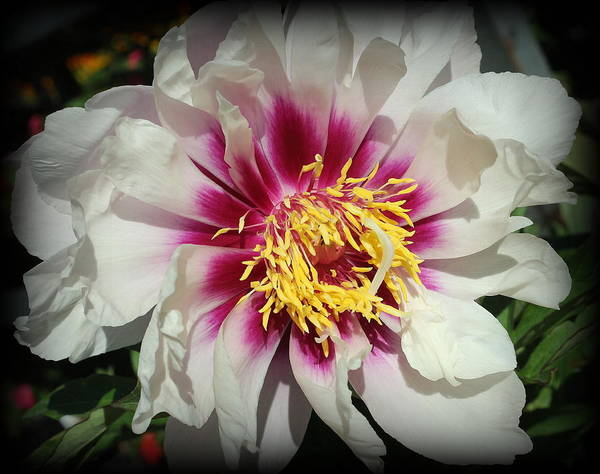 Wall Art - Photograph - A Touch Of Purple On White Peony by Dora Sofia Caputo Photographic Design and Fine Art