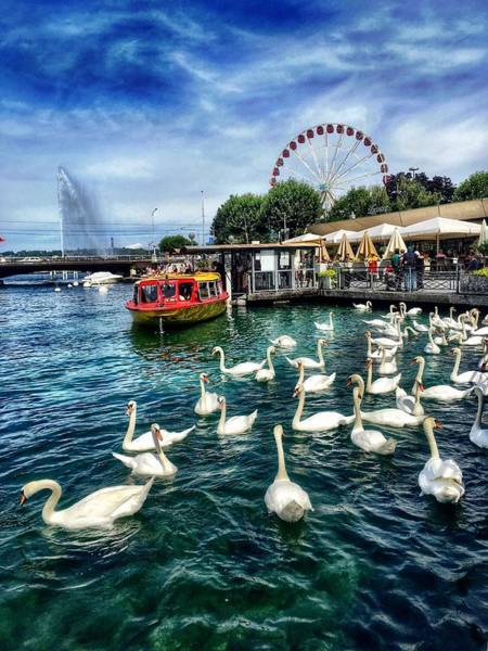 Swan Boats Photograph - A Tribe Of Swans by Alexandra Herzog