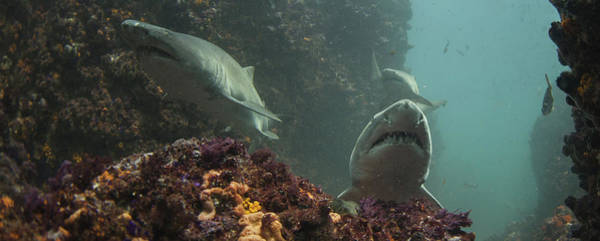 Underwater Camera Photograph - A Trio Of Ragged Tooth Sharks Foraging by Rainer Schimpf