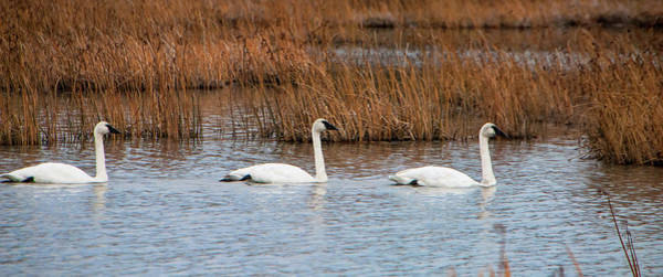 Wall Art - Photograph - A Trio Of Swans by Phyllis Taylor