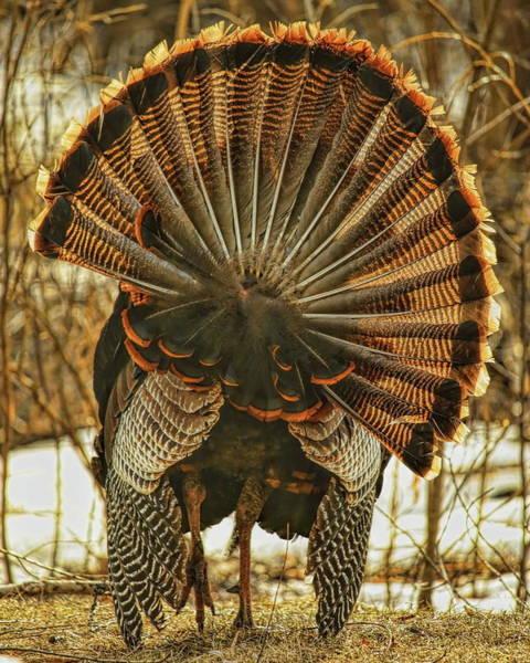 Photograph - A Turkey Strutting Away by Dale Kauzlaric