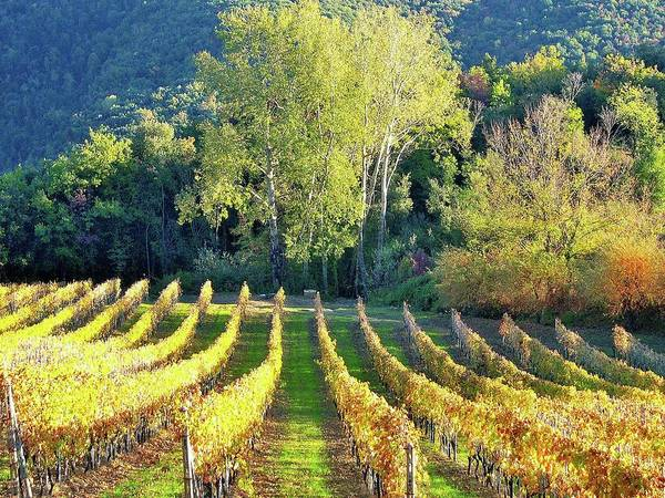 Winemaking Photograph - A Vineyard In Autumn by Marcello Ciappi