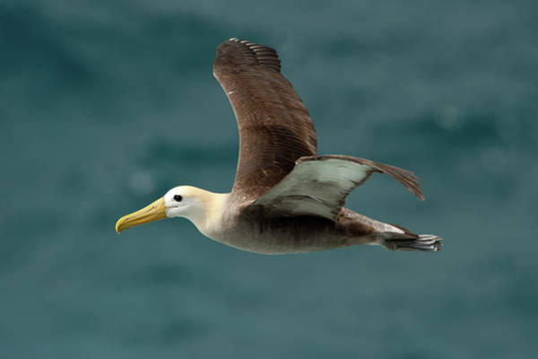 Waved Albatross Wall Art - Photograph - A Waved Albatross Flying by Ben Queenborough